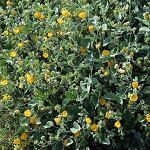 Seeds Abutilon palmeri-Abutilon palmeri