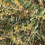 Seeds Acacia redolens-Acacia redolens