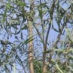 Seeds Acacia salicina (Willow acacia)-Acacia Salicina, Willow Acacia
