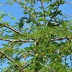 Seeds Acacia smallii (Sweet acacia)-Acacia Smallii seeds,