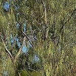 Seeds Acacia stenophylla (Shoestring acacia)-Acacia Stenophylla seeds (Shoestring Acacia)