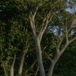 Seeds Acacia willardiana (Palo blanco)-Acacia Willardiana, Palo Blanco, White Barked Acacia