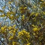 Seeds Acacia aneura (Mulga)-Acacia aneura, Mulga seeds
