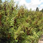 Seeds Acacia angustissima (Prairie acacia)-Seeds Acacia angustissima (Prairie acacia)