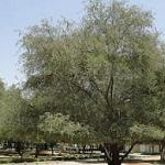 Seeds Acacia arabica-Seeds Acacia arabica
