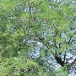 Seeds Acacia berlandieri (Guajillo)-Acacia berlandieri, Guajillo seeds