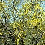 Seeds Acacia constricta (White thorn acacia)-Seeds Acacia constricta, White Thorn Acacia