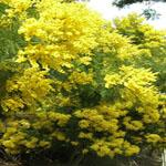 Seeds Acacia decurrens (Green wattle)-Seeds Acacia decurrens (Green wattle)