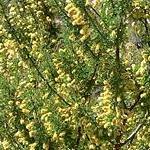 Seeds Acacia greggii (Cat claw acacia)-Acacia greggii, cat claw acacia