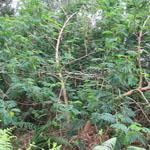 Seeds Acacia melanoxylon-seeds Acacia melanoxylon (Blackwood acacia)