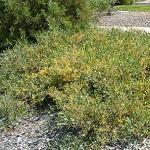 Seeds Acacia redolens prostrata-Seeds Acacia redolens prostrata (Prostrate Acacia)