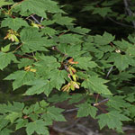 Seeds Acer glabrum (Rocky mountain maple)-Acer glabrum seeds (Rocky mountain maple)
