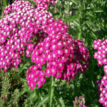 Seeds Achillea millefolium (White Yarrow)-Wildflower seeds: Achillea millefolium (Yarrow)