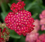 Seeds Achillea millefolium rubra (Red Yarrow)-Achillea millefolium rubra (Red Yarrow)