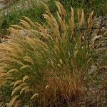 Seeds Achnatherum lettermanii (Letterman needlegrass)-{SEEDS Native Grasses} Achnatherum lettermanii (Letterman needlegrass)