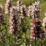Seeds Agastache urticifolia-Seeds Agastache urticifolia (Nettle-leaf giant hyssop)