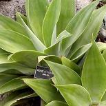 Seeds Agave attenuata-Seeds Agave attenuata