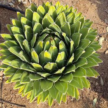 Seeds Agave victoriae-reginae-Seeds Agave victoriae-reginae
