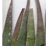 Aloe vera leaf cuttings-Aloe vera leaf cuttings