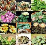 Seeds Aloinopsis species mix-Seeds Aloinopsis species mix