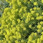 Seeds Alyssum saxatile (Basket of Gold)-Alyssum saxatile (Basket of Gold)