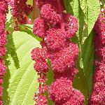 Seeds Amaranthus caudatus (Love Lies Bleeding)-Seeds Amaranthus caudatus (Love Lies Bleeding)