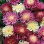 Seeds Amberboa moschata 'Imperialis Mix'-Seeds Amberboa moschata 'Imperialis Mix' Sweet Susan