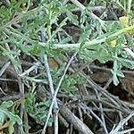 Seeds Ambrosia deltoidea-Seeds, Ambrosia Deltoidea, Triangle Leaf, triangle burr ragweed, Fraseria deltoidea
