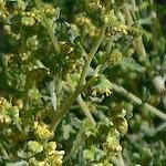 Seeds Ambrosia dumosa-Ambrosia Dumosa seeds, White Bursage,   Burro Weed