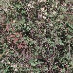 Seeds Amelanchier alnifolia-Amelanchier alnifolia (Saskatoon serviceberry