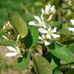 Seeds Amelanchier utahensis-Amelanchier utahensis (Utah service berry)