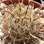 Ancistrocactus scheeri-Ancistrocactus scheeri, Sclerocactus