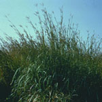 Seeds Andropogon gerardii (Big Bluestem / Kaw)-Andropogon gerardii seeds (Big Bluestem Bison)