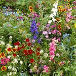 Annuals for Sun Wildflower Mix.-Annuals for Sun Wildflower Mix.