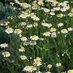 Seeds Anthemis nobilis-seeds herbs Anthemis nobilis (Roman Chamomile)