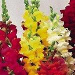 Seeds Antirrhinum majus 'Tetra Mix'-seeds Antirrhinum majus 'Tetra Mix' (Snapdragon)