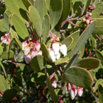 Seeds Arctostaphylos pungens-Arctostaphylos pungens (pointleaf manzanita)