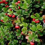 Seeds Arctostaphylos uva-ursi-Arctostaphylos uva-ursi (Bearberry)