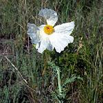 Seeds Argemone polyanthemos-Seeds Argemone polyanthemos (Prickly Poppy)