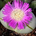 Seeds Argyroderma roseum-Argyroderma roseum, Argyroderma delaetii 'roseum'