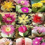 Seeds Argyroderma species mix-Seeds Argyroderma species mix (Stone plants)