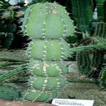 Armatocereus matucanensis-Armatocereus matucanensis