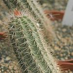 Armatocereus arboreus-Armatocereus arboreus