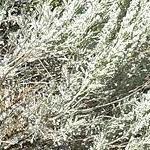 Seeds Artemisia tridentata v. tridentata (Basin big sagebrush)-Seeds Artemisia tridentata v. tridentata, Basin big sagebrush)