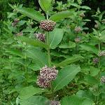 Seeds Asclepias syriaca-Asclepias syriaca (Common Milkweed)
