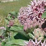 Seeds Asclepias speciosa-Seeds Wildflowers Asclepias speciosa