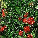 Seeds Asclepias tuberosa-Seeds Wildflowers Asclepias tuberosa