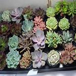 Succulent collections
