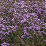 Seeds Aster azureus-Aster azureus (Sky Blue Aster)