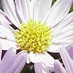 Seeds Aster bigelovii-Wildflower seeds wildflowers Aster bigelovii (Bigelelow's Aster)